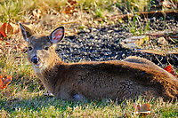 Cold young doe resting in the afternoon sun. Image taken with a Fuji X-T2 camera and 100-400 mm OIS lens (ISO 200, 400 mm, f/5.6, 1/220 sec).