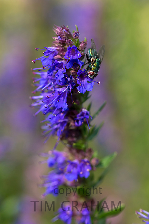 Greenbottle fly,  Lucilia sericata, feeding on Hyssop herb, Hyssopus Officinalis, in organic vegetable garden in Oxfordshire, UK