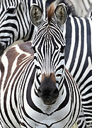 Portrait of a  plains zebra foal (Equus quagga, formerly Equus burchellii). Serengeti National Park, Tanzania.