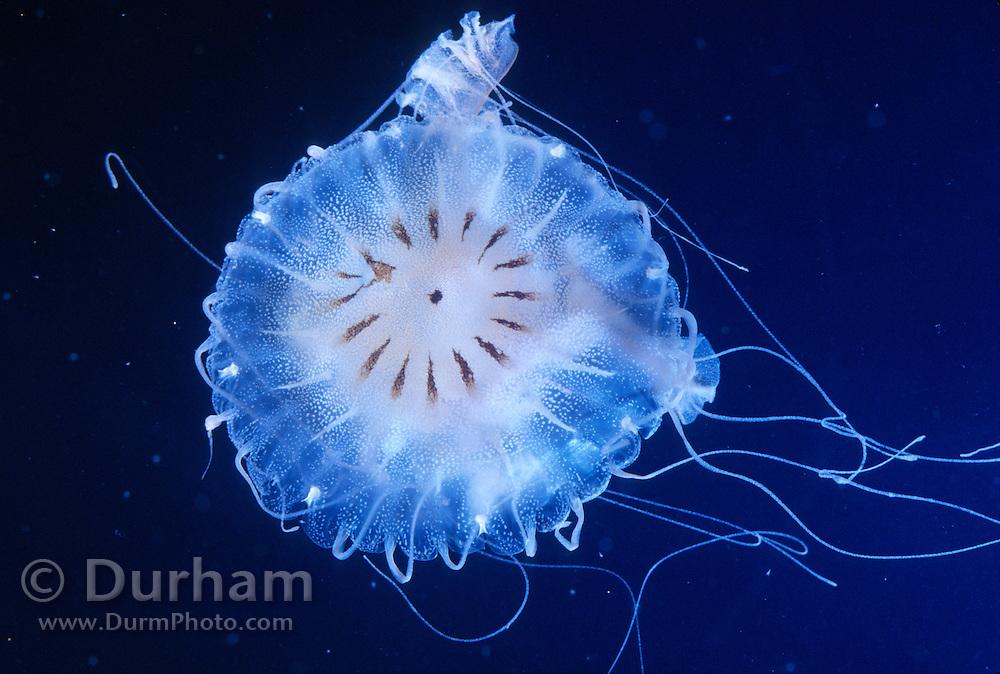An atlantic sea nettle (Chrysaora<br />  quinquecirrha).