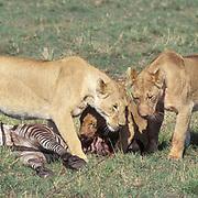 African Lion, (Panthera leo) Adult lioness and older cub feeding on zebra. Masai Mara Game Reserve. Kenya. Africa.