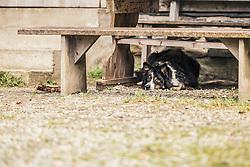 THEMENBILD - ein liegender Hütehund (Border Collie) liegt unter einer alten Holzbank vor einer Almhütte, aufgenommen am 23. Juni 2019, am Hintersee in Mittersill, Österreich // a lying herding dog (Border Collie) lies under an old wooden bench in front of an alpine hut on 2019/06/23, Hintersee in Mittersill, Austria. EXPA Pictures © 2019, PhotoCredit: EXPA/ Stefanie Oberhauser