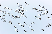 Large flock of Avocets, Recurvirostra, wading birds in flight in North Norfolk, UK