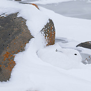 Arctic Hare takes refuge from the wind behind a rock. Hudson Bay, Manitoba, Canada