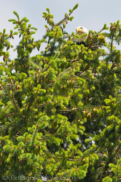 An adult Bald Eagle (Haliaeetus leucocephalus) sits as if hidden in the top of a Douglas Fir tree (Pseudotsuga menziesii) at Big Beef Creek near the Hood Canal of Puget Sound, Washington, USA