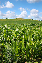 CZECH REPUBLIC VYSOCINA NEDVEZI 30JUL15 - A field of maize near the village of Nedvezi, Vysocina, Czech Republic. <br /> <br /> <br /> <br /> jre/Photo by Jiri Rezac<br /> <br /> © Jiri Rezac 2015