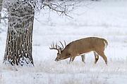 Wyoming whitetail deer chasing doe during the autumn rut