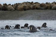 Walrus; Odobenus rosmarus;  Novaya Zemlya, Siberia, Russia.