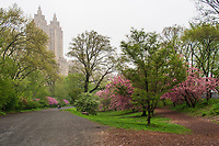 Spring colors along the Bridle Path in Central Park west of the Reservoir, with a view of the El Dorado apartment towers.