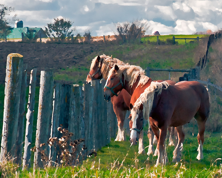 SUBJECT: Work horses. Belgians. Mennonite Farm IMAGE: Painterly treatment of Belgians, magnificent beasts, taking a leisurely perusal beyond the fence line on a Mennonite farm on a blustery Sunday, their day off.