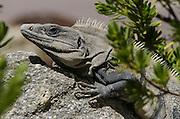 Black spiny-tailed iguana (Ctenosaura similis)<br /> Mahahual <br /> Mahahaul Peninsula<br /> Mexico<br /> Central America
