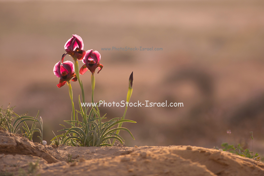 Petra Iris, Sand Iris,  or Yeruham Iris (Iris petrana) in natural habitat. This rare Iris is endemic to small areas in Israel and Jordan. Photographed in Israel, Negev Desert near Yeruham in March
