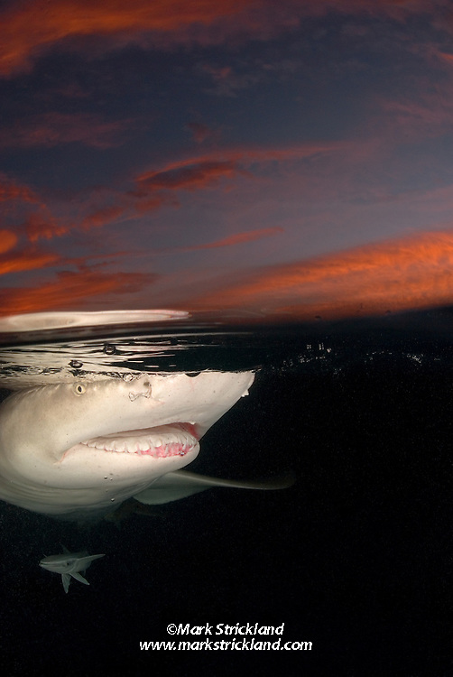 Lemon Shark, Negaprion brevirostris, cruises the surface at sunrise. Little Bahama Bank, Bahamas