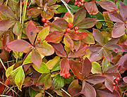 Bunchberry (cornus canadensis, or Dwarf Dogwood, Dwarf Cornel, or Crackerberry) foliage turns red and yellow and produces edible red berries in late August in Denali National Park, Alaska, USA.