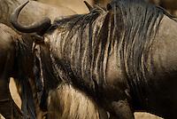 Wildebeest in the Ngorongoro Crater, Tanzania