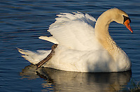 """- <a href=""""http://www.kevin-palmer.com"""" rel=""""nofollow"""">www.kevin-palmer.com</a> - From a distance this swan looked a little fat. When I got closer I noticed the extra pair of legs and realized she was holding a swan chick on her back. They were nearly oblivious to me taking pictures. I walked around to capture the golden early morning light on her face.<br /> <br /> Date Taken: April 15, 2014"""