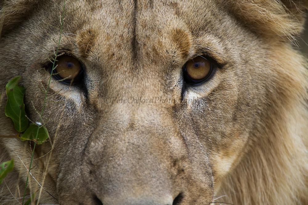 Lion (Panthera leo)<br /> Marakele Private Reserve, Waterberg Biosphere Reserve<br /> Limpopo Province<br /> SOUTH AFRICA<br /> RANGE:
