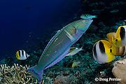 pastel ring wrasse or longface wrasse, Hologymnosus doliatus, intermediate phase, Shark Reef Marine Reserve Beqa Passage, Viti Levu, Fiji ( South Pacific Ocean )