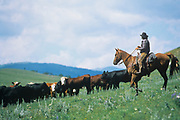 """LIVINGSTON, MT - AUGUST:  Cowboys round up their herd of cows during the filming of """"The Horse Whisperer"""" in 1997. (Photo by John Kelly/Getty Images)"""