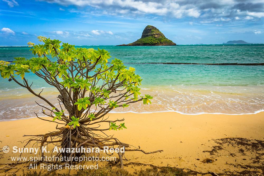 Lone mangrove tree on white sand beach at Kualoa Regional Park. Chinaman's Hat (Mokolii Island) and Kaneohe Bay in the background. Oahu Island, Hawaii.
