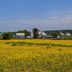 Ronks, PA, USA- May 17, 2012:An Amish farm with yellow spring flowers in field in Lancaster County, PA.