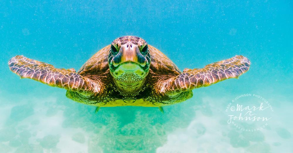 Green Sea Turtle swimming underwater, Oahu, Hawaii, USA