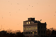 Middletown, New York - Crows in dowtown Middletown on Nov. 7, 2016.
