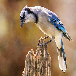 A Blue Jay In On A Post In Full Detail