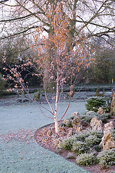 Betula utilis on a frosty morning in John Massey's garden. Silver birch tree