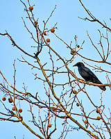 Crow in a sycamore tree. Late winter backyard nature in New Jersey. Image taken with a Nikon D300 camera and 80-400 mm VR lens (ISO 200, 400 mm, f/5.6, 1/800 sec).