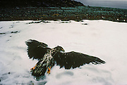 Alaska. Dead Bald Eagle (Haliaeetus leucocephalus) dead in the snow died of toxic pollution from the Exxon Valdez  oil spill.