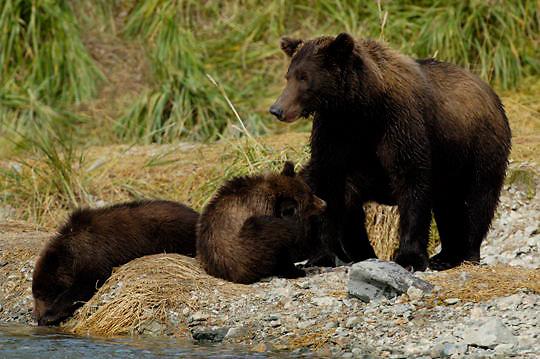 Alaskan Brown Bear (Ursus arctos) Mother and cubs on river bank. Katmai National Park. Alaska. Summer.