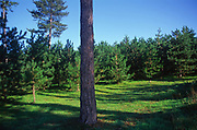 A07WY2 Conifer trees Suffolk Sandlings England
