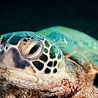 Green Sea Turtle, Chelonia mydas, (Linnaeus, 1758), Damaged Bill, Maui Hawaii