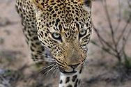 Porträt eines sehr erregten, territorialen Leoparden-Männchens (Panthera panthera), Greater Kruger Area, Südafrika<br /> <br /> Portrait of a very excited, territorial leopard male (Panthera panthera), Greater Kruger Area, South Africa