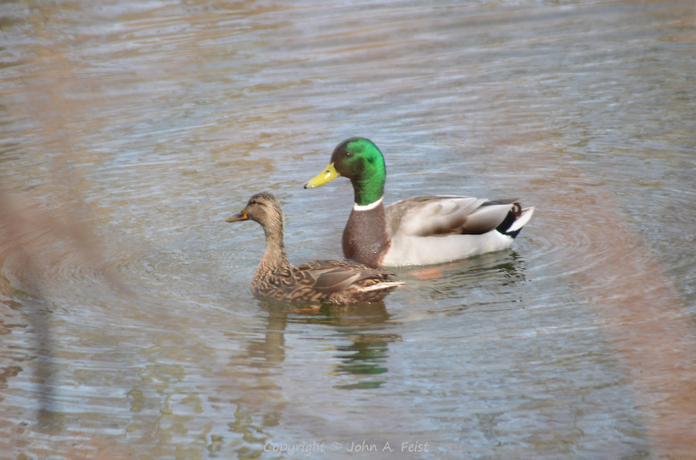 A duck and drake enjoying a nice day on the D and R Canal, Hillsborough, NJ