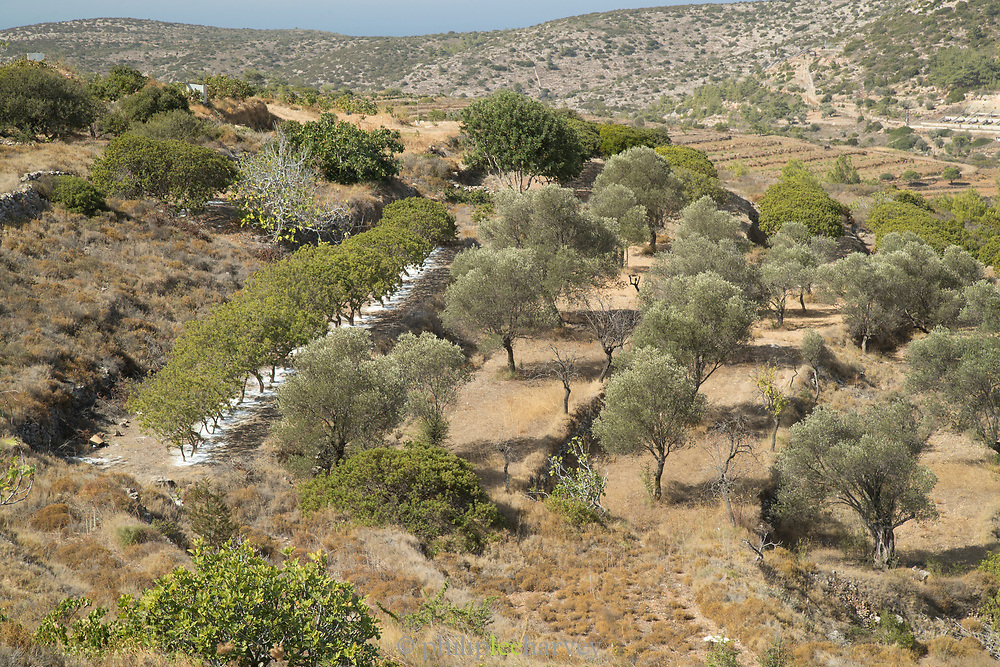 High angle view of rural scene with mastic trees (Pistacia lentiscus) in a row, Mesta, Chios, Greece