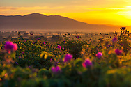 Rose fields in Thracian valley