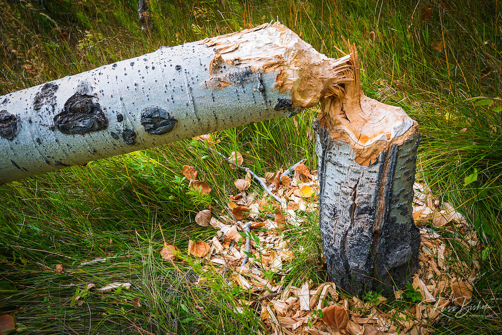 Aspen tree felled by a beaver in Lundy Canyon, Inyo National Forest, California USA