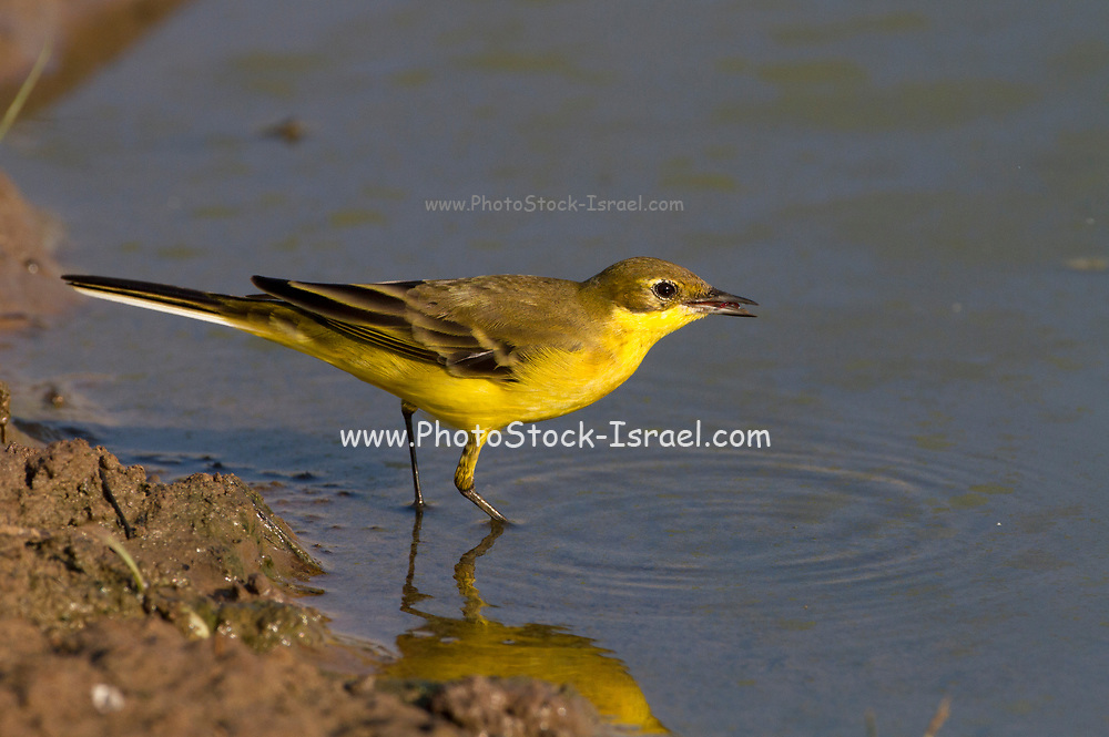 Western Yellow Wagtail (Motacilla flava) near water, Yellow wagtails are insectivorous, preferring to live in open country where it is easy to spot and pursue their prey. Photographed in the Negev Desert, israelin September