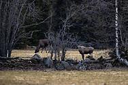 JÄMTLAND 200518<br /> Betande älgar fotograferad under dagens naturtur i trakten av Målsta, Östersund.<br /> Foto: Per Danielsson/Projekt.P