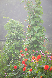 Dahlia 'Blue Bayou' and Dahlia 'Happy Halloween' in front of towers of runner beans in the vegetable garden