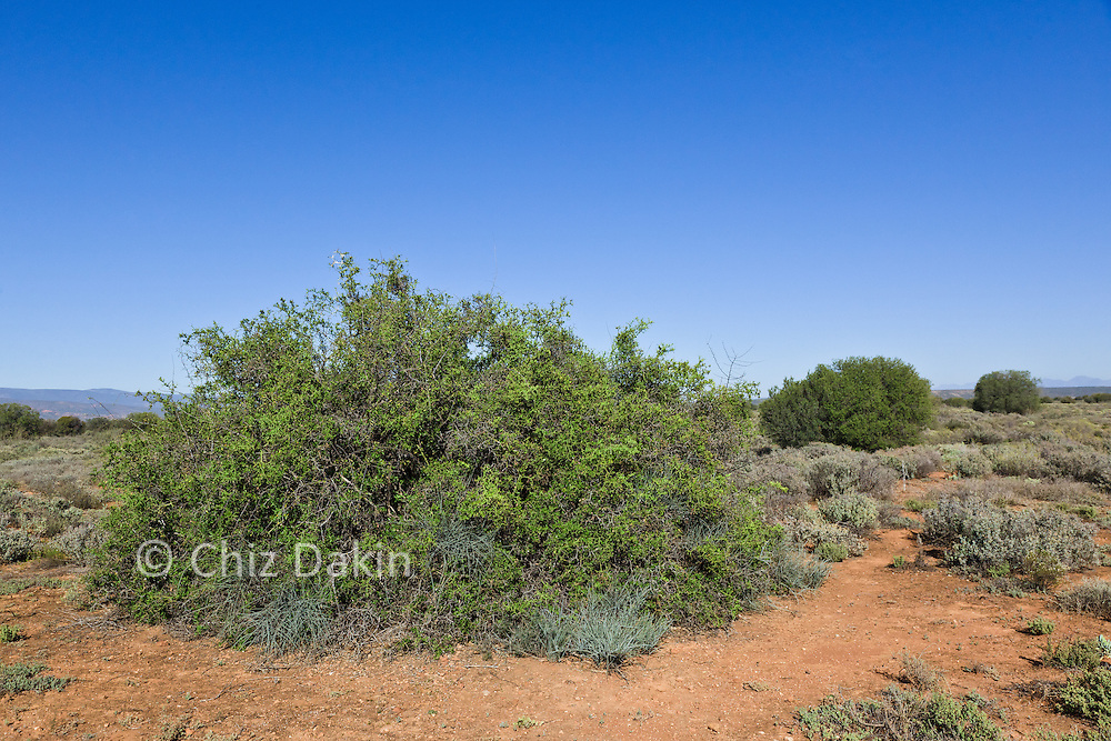 Wide-angle view of scrubby thorn bush in sandy soil - it's thorny interior provides a good hiding place for meerkats against ground predators, De Zeekoe Ranch, Outdshoorn, Western Cape, South Africa