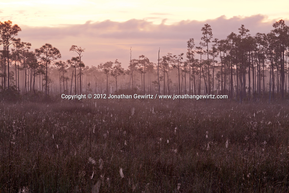 Conifers protrude from the morning fog in a sawgrass meadow full of dew-covered spider webs in Everglades National Park, Florida. WATERMARKS WILL NOT APPEAR ON PRINTS OR LICENSED IMAGES.