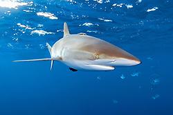 silky shark, Carcharhinus falciformis, with whitespotted filefish, Cantherhines dumerili, Big Island, Hawaii, Pacific Ocean