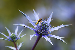 Hover fly on Eryngium bourgatii Blue Form. Sea holly