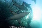 copper sharks or bronze whalers ( Carcharhinus brachyurus ) feed on a bait ball of sardines or pilchards ( Sardinops sagax ) during the annual Sardine Run off the east coast of South Africa at Mboyti, Transkei or Wild Coast ( Indian Ocean )