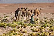 A boy with a herd of dromedaries in the Sahara desert.