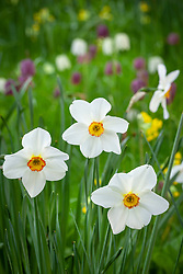 Narcissus 'Actaea' growing in the grass at The Old Rectory. Design: Mary Keen
