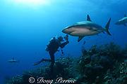 Caribbean reef shark, Carcharinus perezi, and scuba diver, Bahamas ( Western Atlantic Ocean )